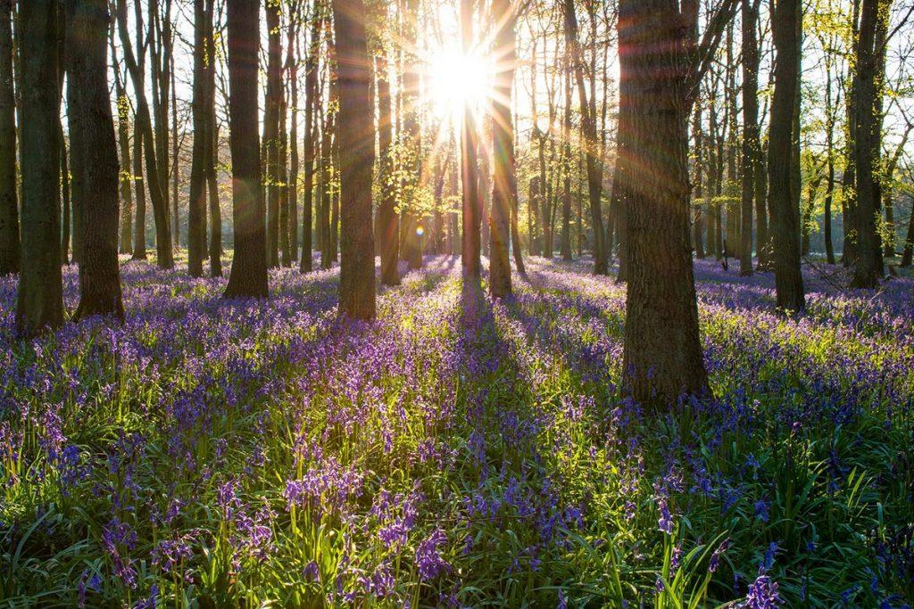 Morning sun shining through bluebell woodx