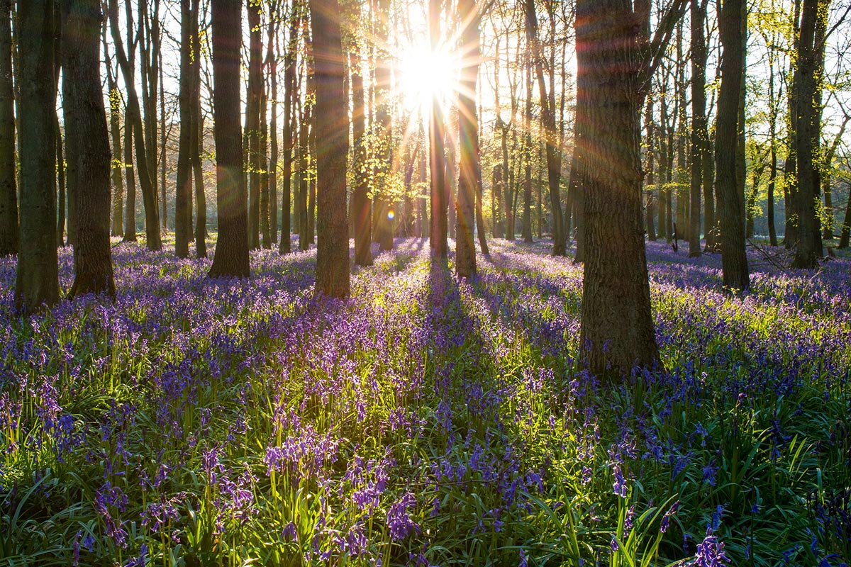 Morning sun shining through bluebell woodx